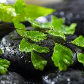Beautiful spa concept of green twig fern on zen basalt stones wi — Stock Photo
