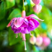 Blooming red and lilac fuchsia flower on green background — Stock Photo