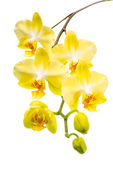 Blooming twig beautiful yellow with bud orchid, phalaenopsis is — Stock Photo