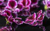 Beautiful spa concept of geranium flower in reflection water, Ro — Stock Photo