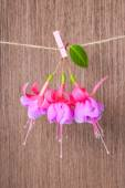 Fuchsia flowers handing on rope with clothespin on wooden backgr — Stock Photo