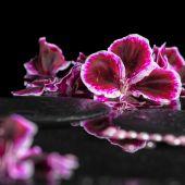 Beautiful spa background of blooming dark purple geranium flower — Stock Photo