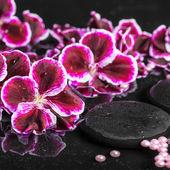 Beautiful spa setting of blooming dark purple geranium flower an — Stock Photo