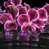 Beautiful spa still life of blooming dark purple geranium flower — Stock Photo