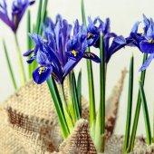 Iris flowers in burlap on beige background, closeup  — Stock Photo