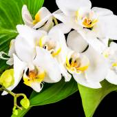Beautiful blooming white orchid flower, phalaenopsis and green l — Stock Photo