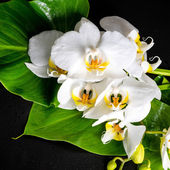 Blooming white orchid flower, phalaenopsis, green leaf with dew  — Stock Photo
