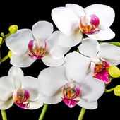 Blooming branches white and red orchid flower (phalaenopsis) wit — Stock Photo