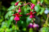 Blossoming branch dark-red fuchsia on the nature green leaves ba — Stock Photo