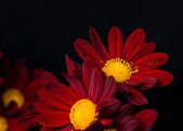 Closeup composition of red velvet chrysanthemum flowers on black — Stock Photo