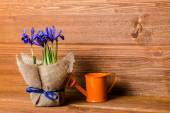 Iris flowers in burlap and water can on wooden background, close — Stock Photo