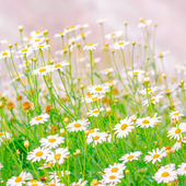 Beautiful field of green grass and camomiles as background in th — Stockfoto