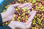 Coffee beans on agriculturist hand  — Stock Photo