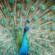 Peacock showing its beautiful feathers — Stock Photo #63434181