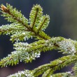 Needles  of pine tree — Stock Photo #53603151