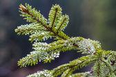 Needles  of pine tree — Stock Photo