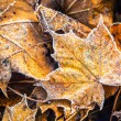 Frozen autumn frost cold morning ice maple leaves — Stock Photo #56477775