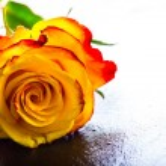 Orange rose. Yellow rose. Several orange roses on Granite background — Stock Photo #72496949