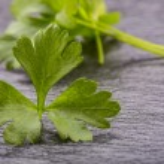 Parsley Top . Parsley or cellery Twig. Fresh parsley top on granite board. — Stock Photo #73106405