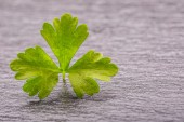 Parsley Top . Parsley or cellery Twig. Fresh parsley top on granite board. — Stock Photo