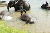 Elephants at bath. Chitwan-Nepal. 0844 — Stock Photo