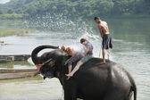 Elephants at bath. Chitwan-Nepal. 0845 — Stock Photo