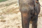Indian elephant for safari. Chitwan-Nepal. 0840 — Stock Photo