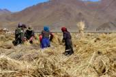 Peasants preparing highland barley. Dablung-Tibet. 1547 — Stock Photo