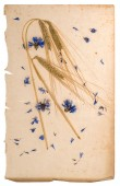 Dried cornflowers and corn on aged paper — Stock Photo