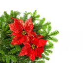 Christmas tree branch with red poinsettia flower over white — Stock Photo