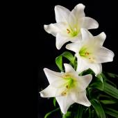 White lily flowers bouquet on black background. Condolence card — Stock Photo