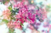 Blossoming cherry tree. — Stock Photo
