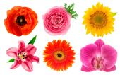 Single flower heads. Lily, orchid, ranunculus, sunflower, gerber — Stock Photo