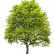 Green oak tree isolated on white background. Nature object — Stock Photo #77503546