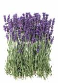 Lavender flowers over rustic metal background. Fresh blossoms — Stock Photo