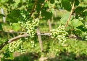 Grapes with green leaves on the vine. Vine grape fruit plants — Stock Photo