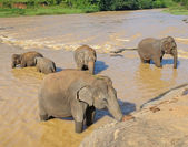 Elephants bathing in the river — Stock Photo