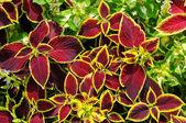 Geranium leaves — Stock Photo