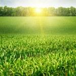 Corn field and sunrise on blue sky — Stock Photo #56611157