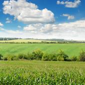 Corn field and blue sky — Stock Photo