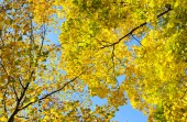 Yellow autumn leaves on background blue sky — Stock Photo