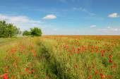Meadow with wild poppies and blue sky — Stock Photo