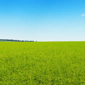 Green field and blue cloudless sky — Stock Photo