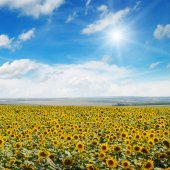 Field of sunflowers , blue sky and sun — Stockfoto