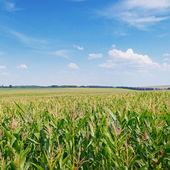 Campo de milho verde e céu azul — Fotografia Stock