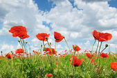 Meadow with wild poppies and blue sky — ストック写真