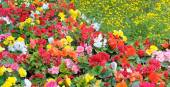 Beautiful background of bright garden flowers — Stock Photo