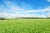 Champ vert et bleu ciel avec nuages légers — Photo