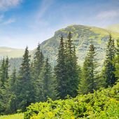 Spruce forest on the hillside — Stockfoto
