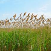 Thicket of reeds — Stock Photo